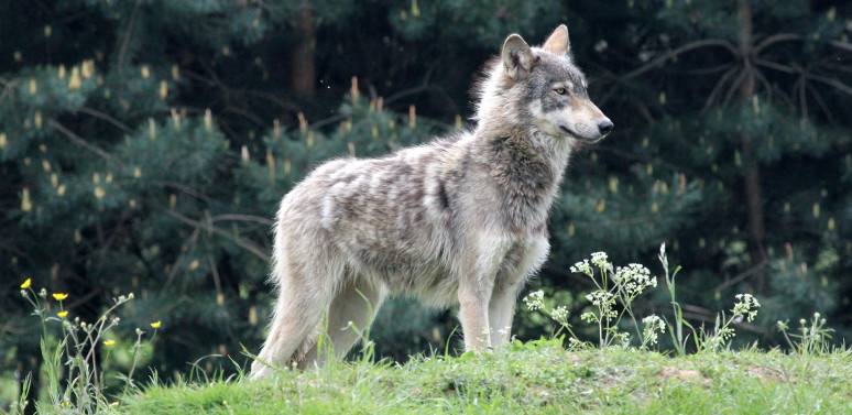 A new study suggests that legal wolf hunting may lead to more illegal kills.