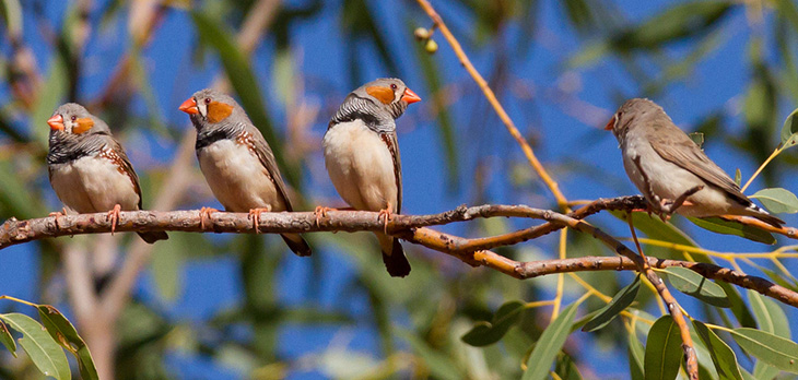 A male zebra finch gazes at a female, perched at the end of a eucalyptus branch.
